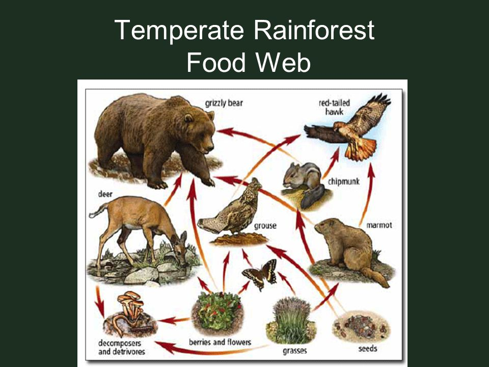 Temperate Rainforest Food Web