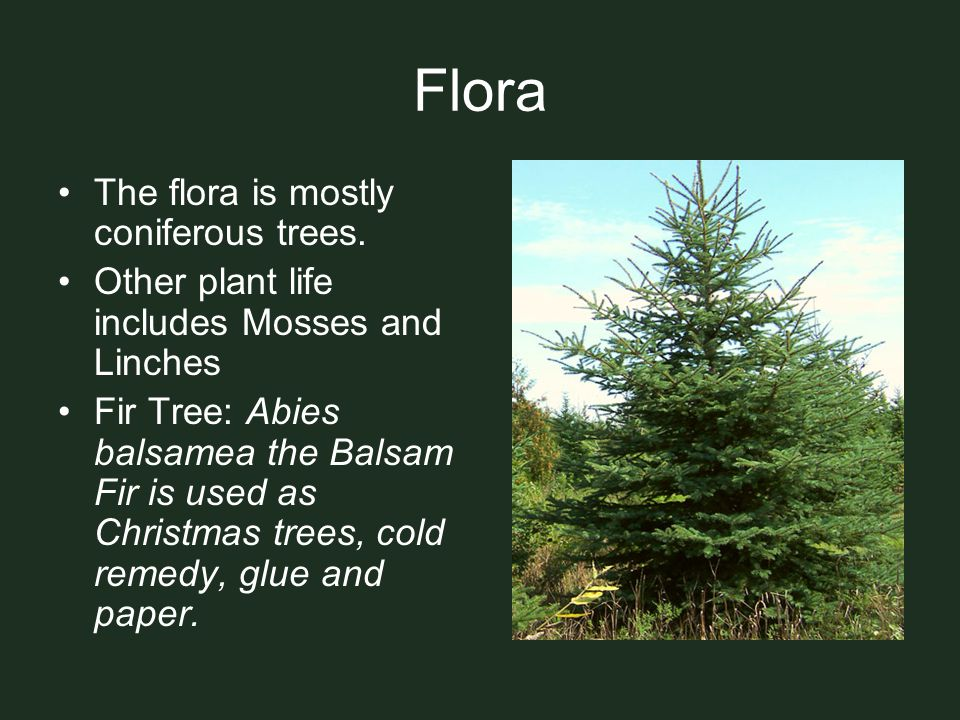 Flora The flora is mostly coniferous trees.