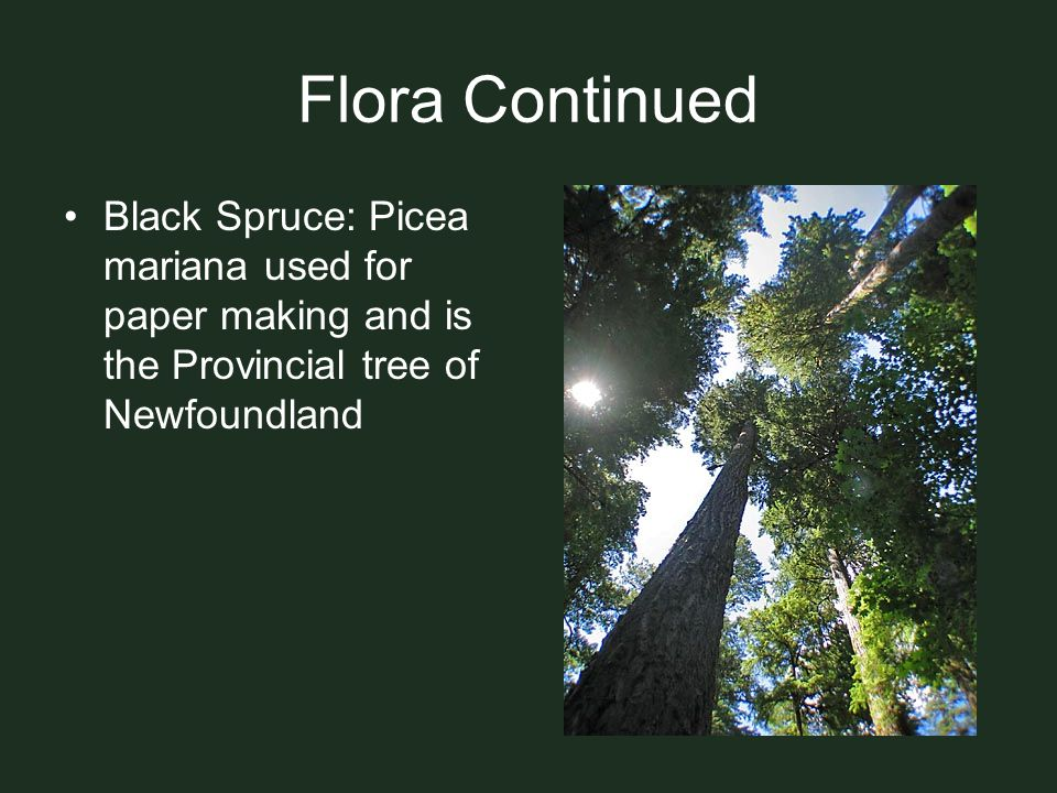 Flora Continued Black Spruce: Picea mariana used for paper making and is the Provincial tree of Newfoundland.