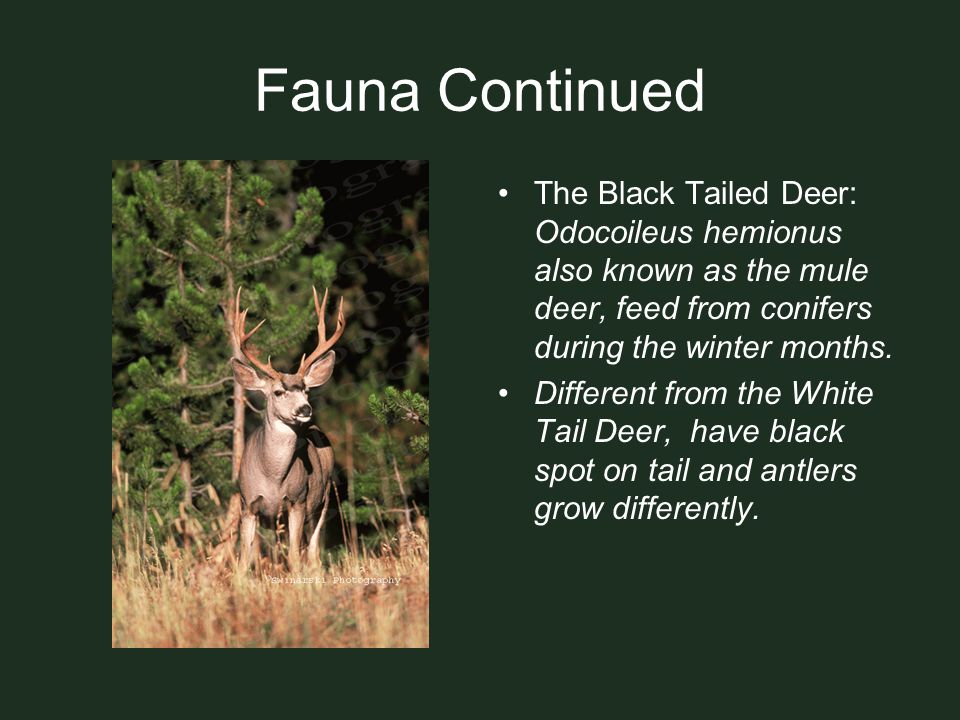 Fauna Continued The Black Tailed Deer: Odocoileus hemionus also known as the mule deer, feed from conifers during the winter months.