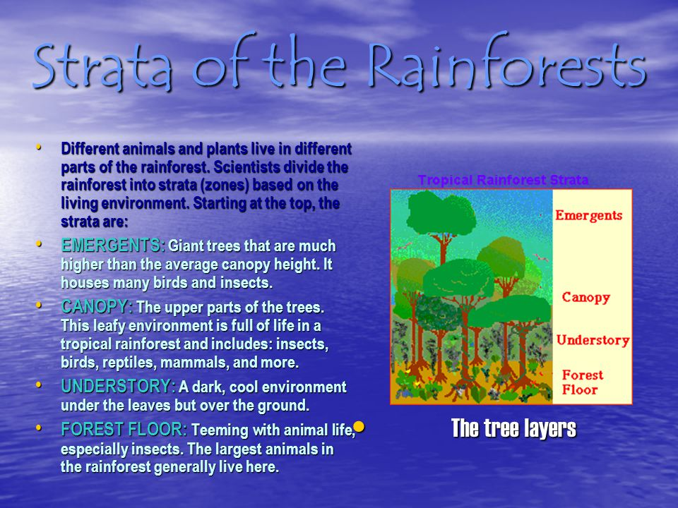 Strata of the Rainforests