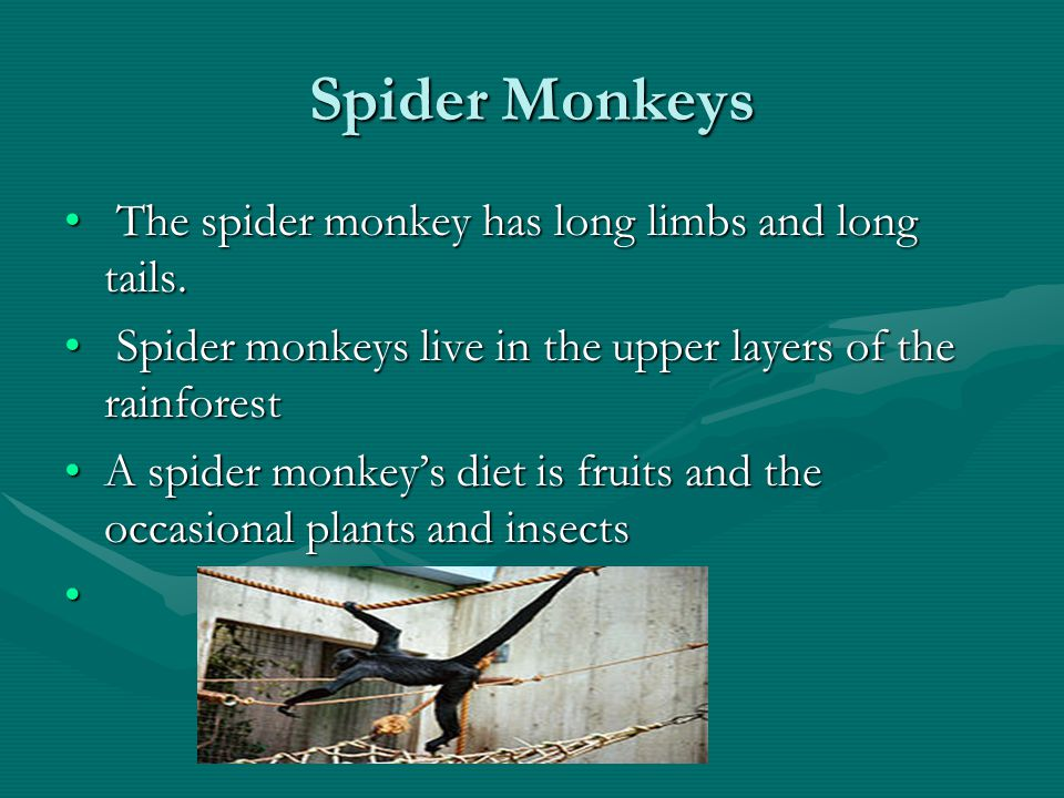 Spider Monkeys The spider monkey has long limbs and long tails.