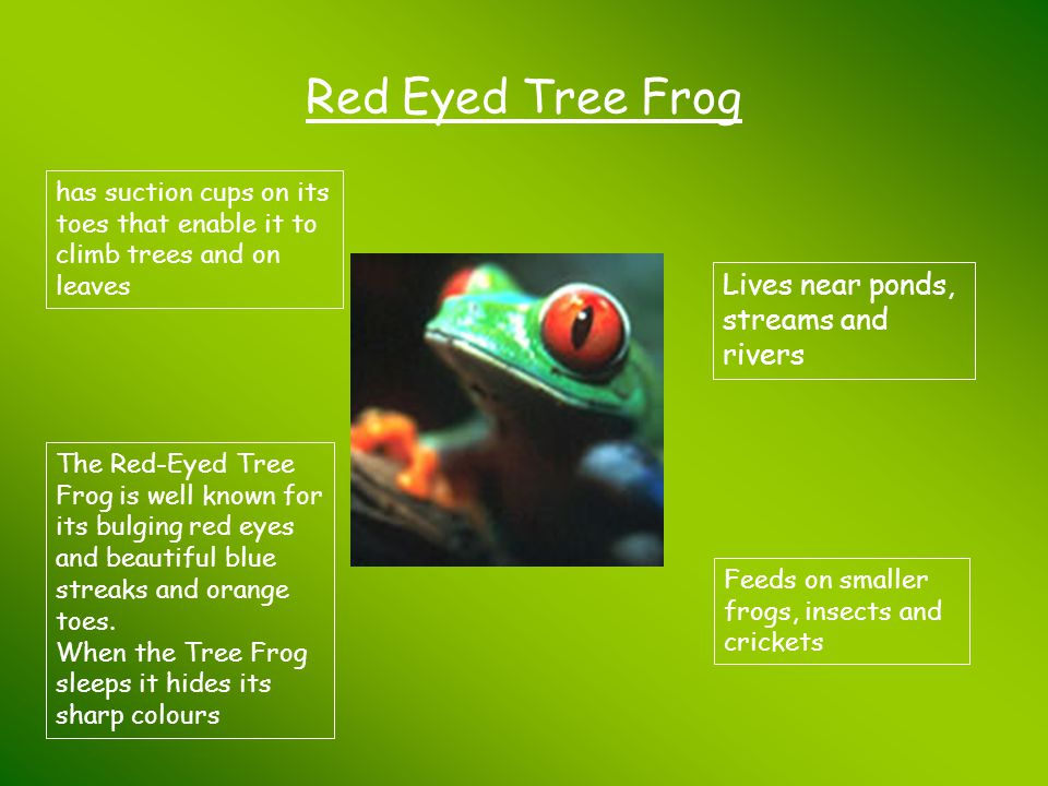 Red Eyed Tree Frog Lives near ponds, streams and rivers
