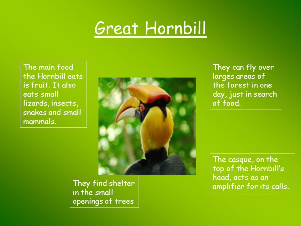 Great Hornbill The main food the Hornbill eats is fruit. It also eats small lizards, insects, snakes and small mammals.
