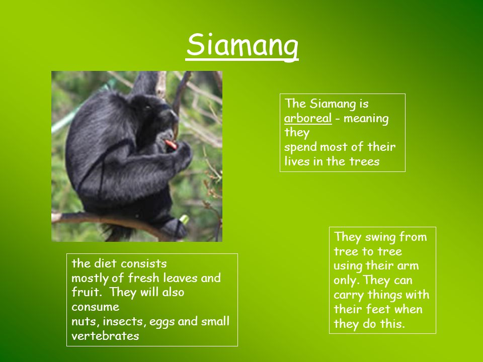 Siamang The Siamang is arboreal - meaning they spend most of their lives in the trees.