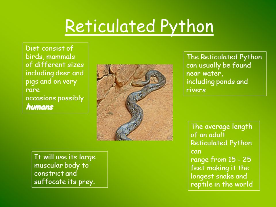 Reticulated Python Diet consist of birds, mammals of different sizes including deer and pigs and on very rare occasions possibly humans.