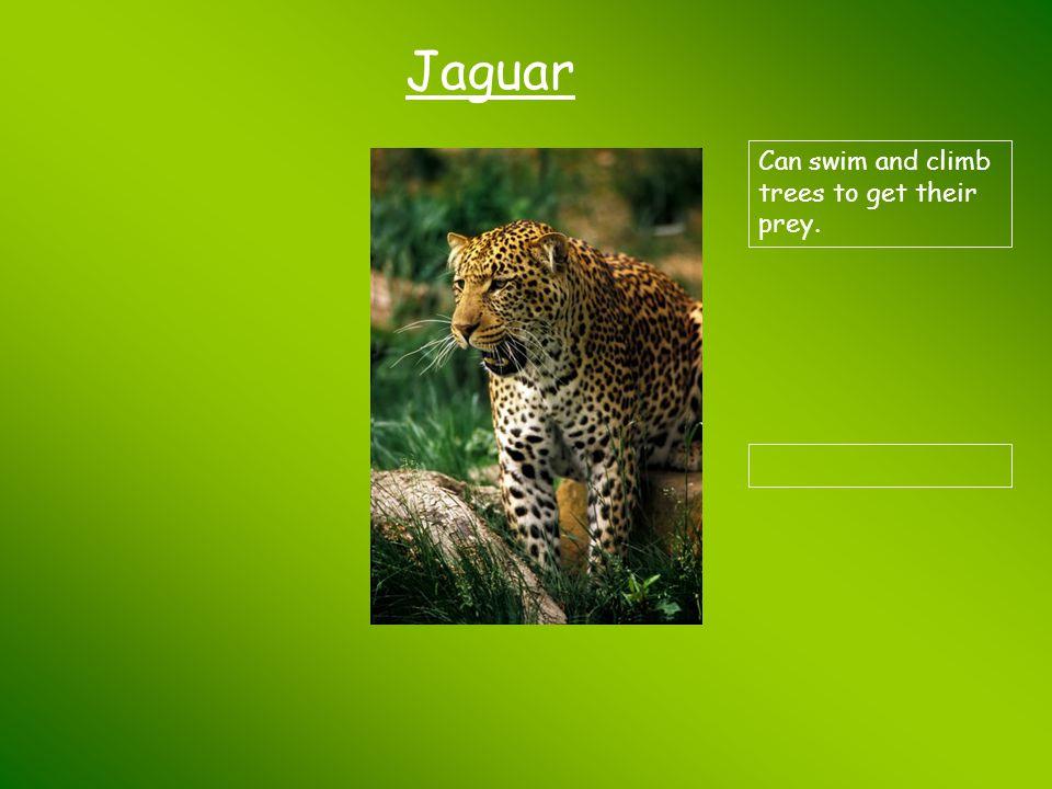Jaguar Can swim and climb trees to get their prey.