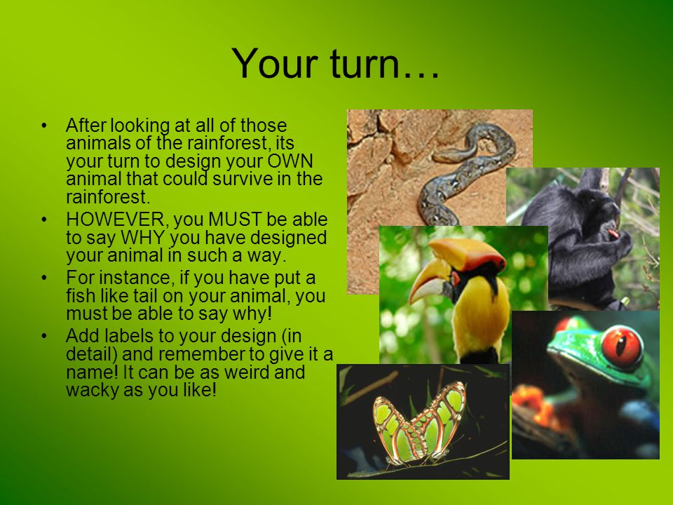 Your turn… After looking at all of those animals of the rainforest, its your turn to design your OWN animal that could survive in the rainforest.
