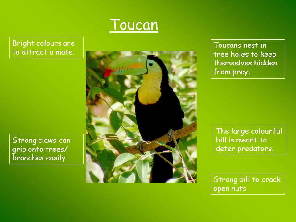 Toucan Bright colours are to attract a mate.