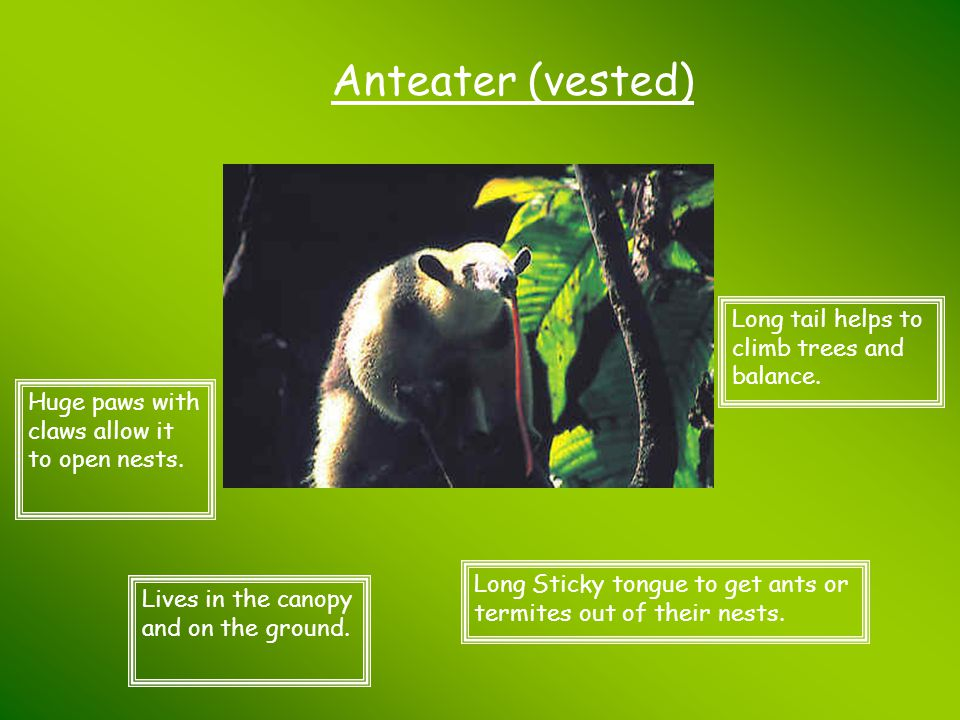 Anteater (vested) Long tail helps to climb trees and balance.