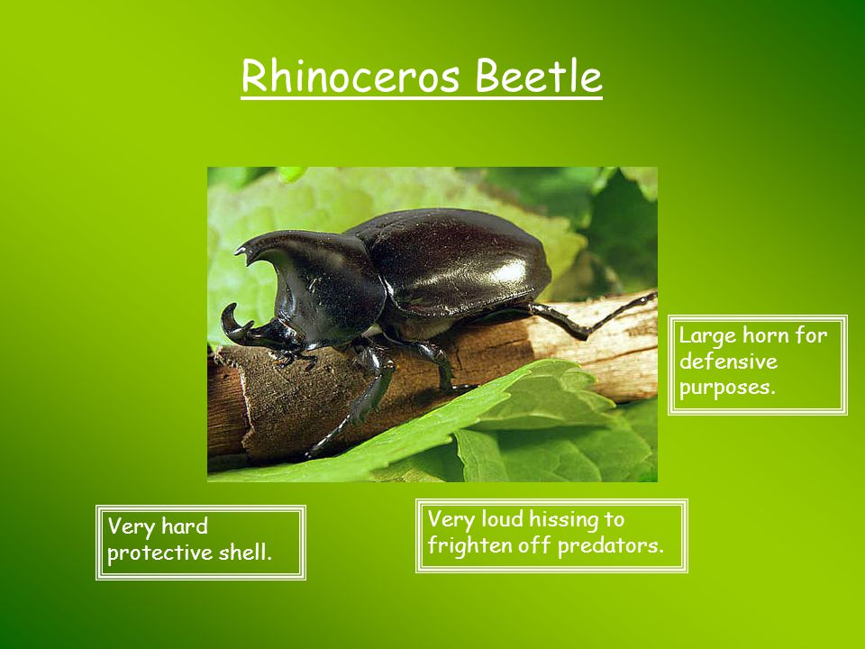Rhinoceros Beetle Large horn for defensive purposes.