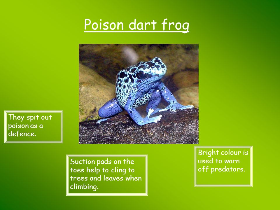 Poison dart frog They spit out poison as a defence.