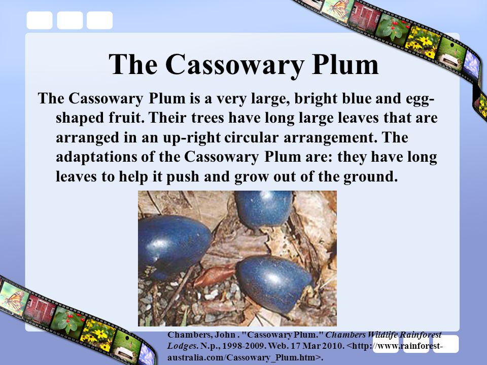 The Cassowary Plum