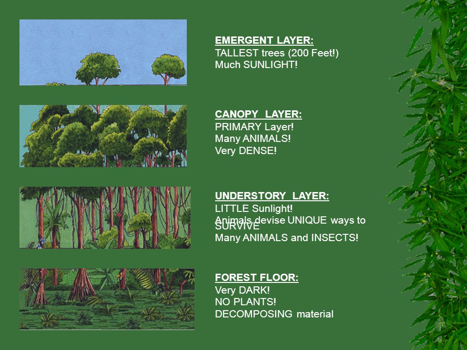 EMERGENT LAYER: TALLEST trees (200 Feet!) Much SUNLIGHT! CANOPY LAYER: PRIMARY Layer! Many ANIMALS!
