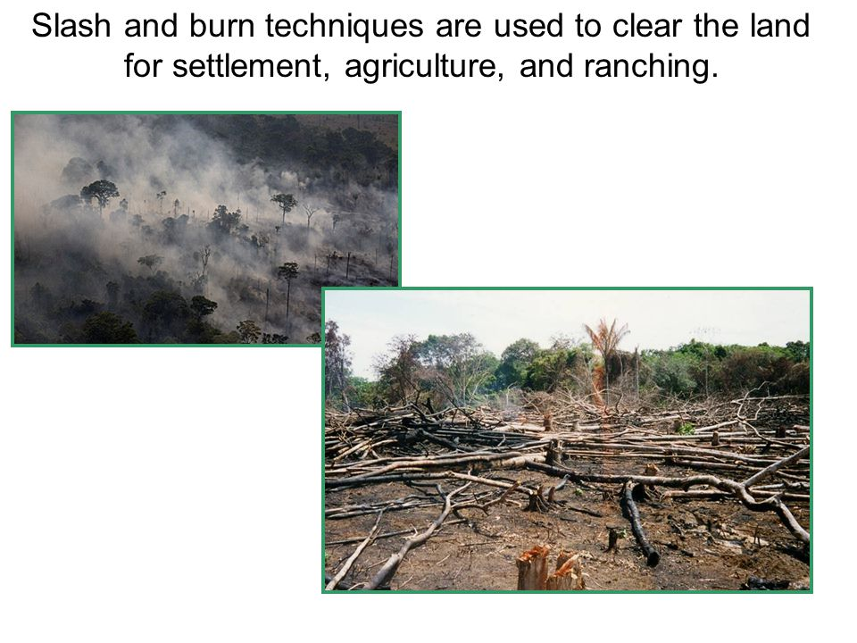 Slash and burn techniques are used to clear the land