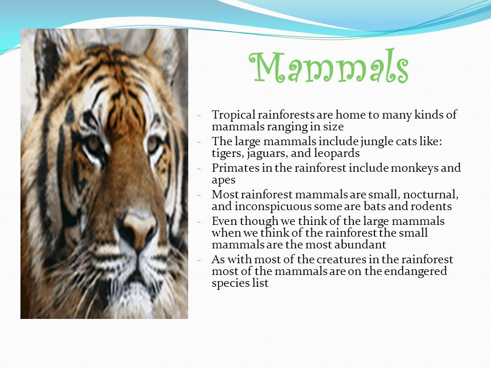 Mammals Tropical rainforests are home to many kinds of mammals ranging in size.