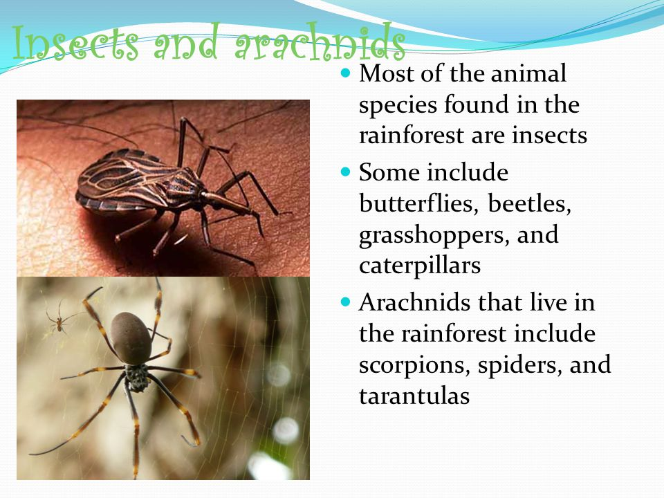 Insects and arachnids Most of the animal species found in the rainforest are insects.