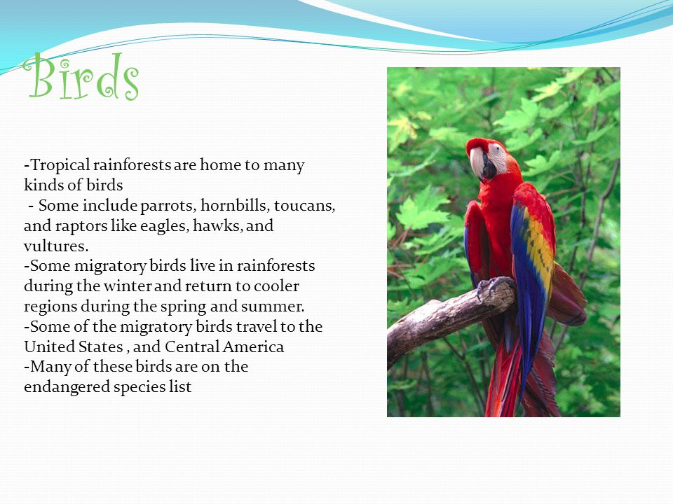 Birds -Tropical rainforests are home to many kinds of birds