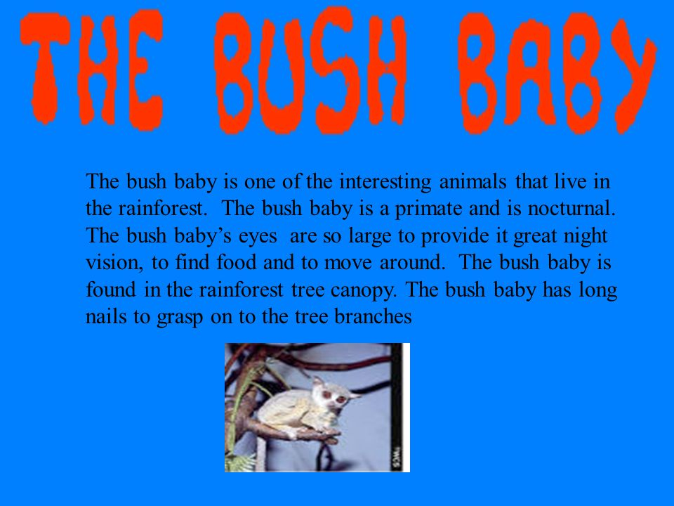 The bush baby is one of the interesting animals that live in the rainforest.