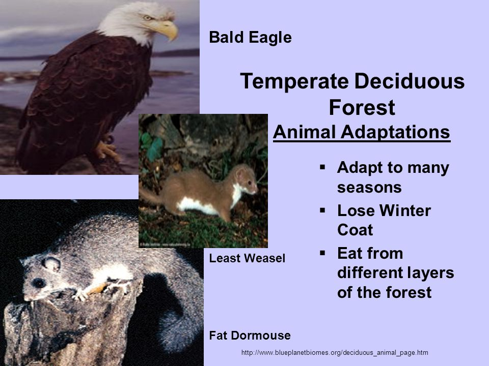 Temperate Deciduous Forest Animal Adaptations