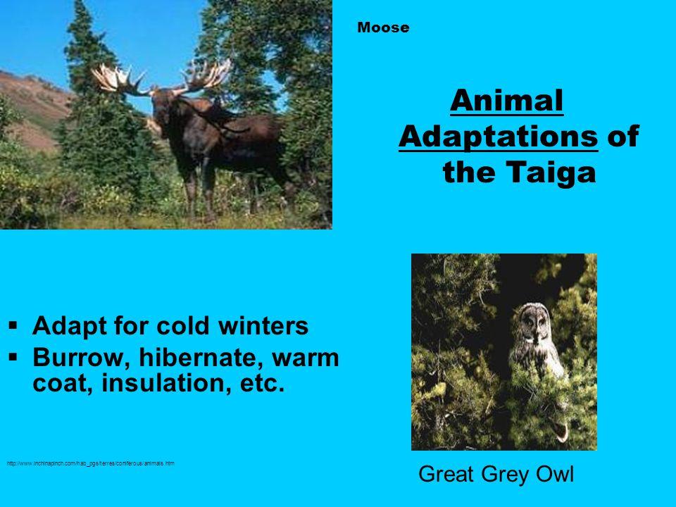 Animal Adaptations of the Taiga