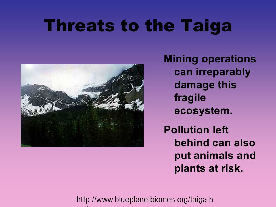 Threats to the Taiga Mining operations can irreparably damage this fragile ecosystem. Pollution left behind can also put animals and plants at risk.
