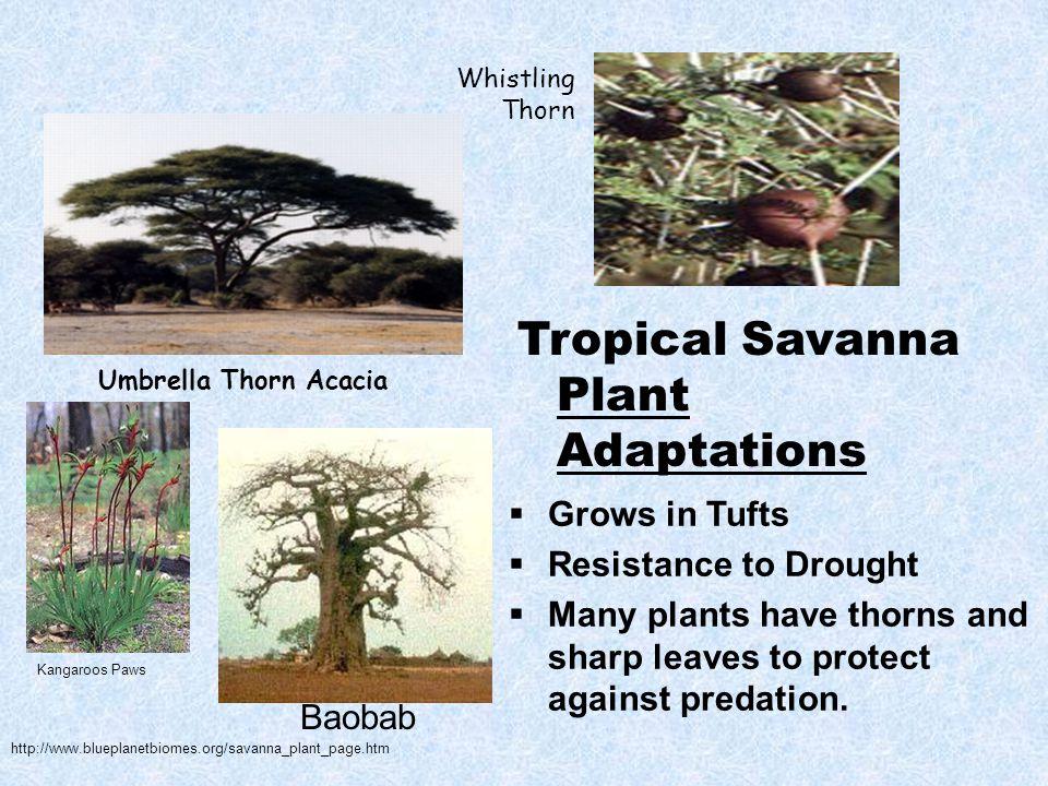 Tropical Savanna Plant Adaptations