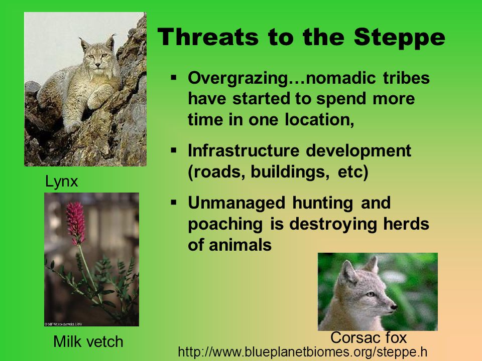 Threats to the Steppe Overgrazing…nomadic tribes have started to spend more time in one location, Infrastructure development (roads, buildings, etc)
