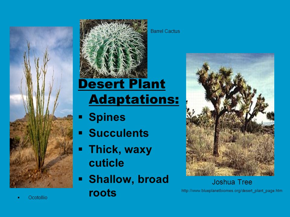 Joshua Tree http://www.blueplanetbiomes.org/desert_plant_page.htm