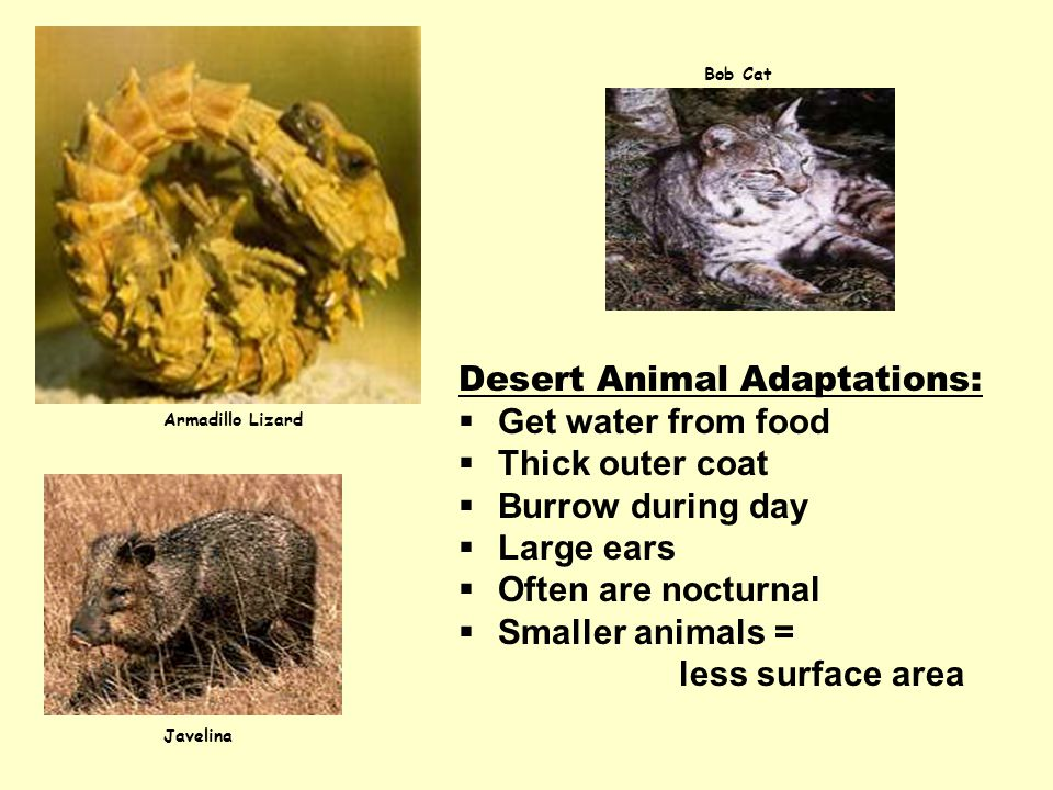 Desert Animal Adaptations: Get water from food Thick outer coat