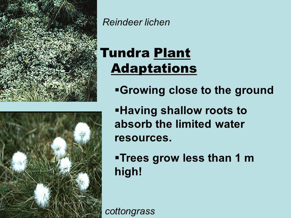 Tundra Plant Adaptations
