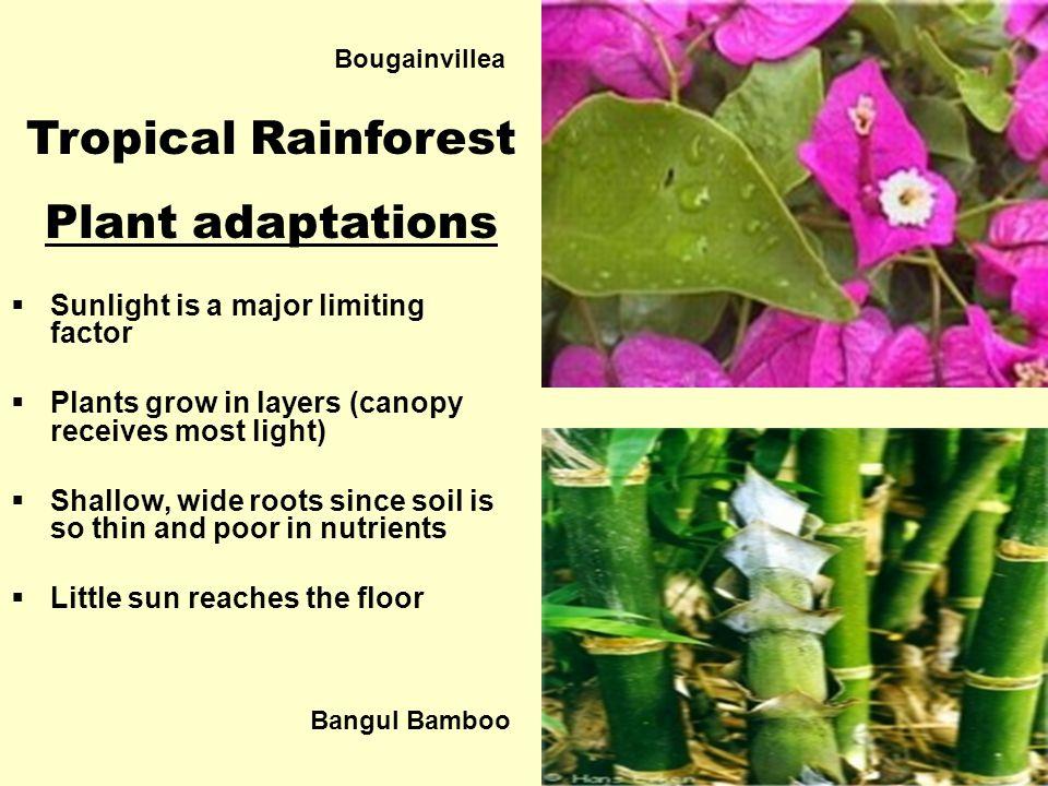 Tropical Rainforest Plant adaptations