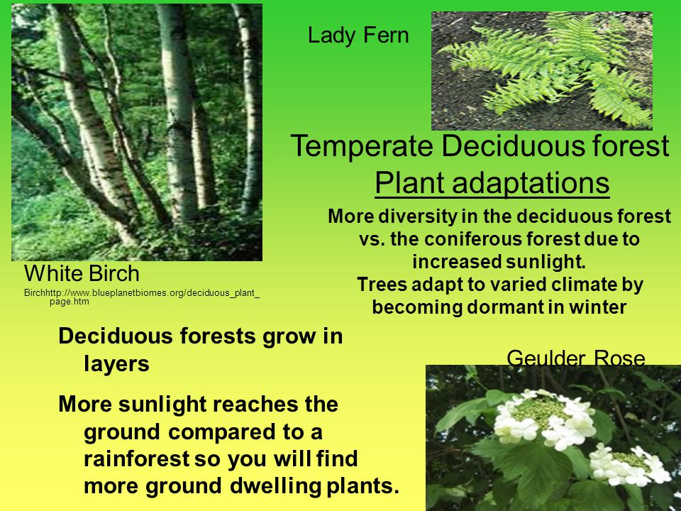 Temperate Deciduous forest Plant adaptations