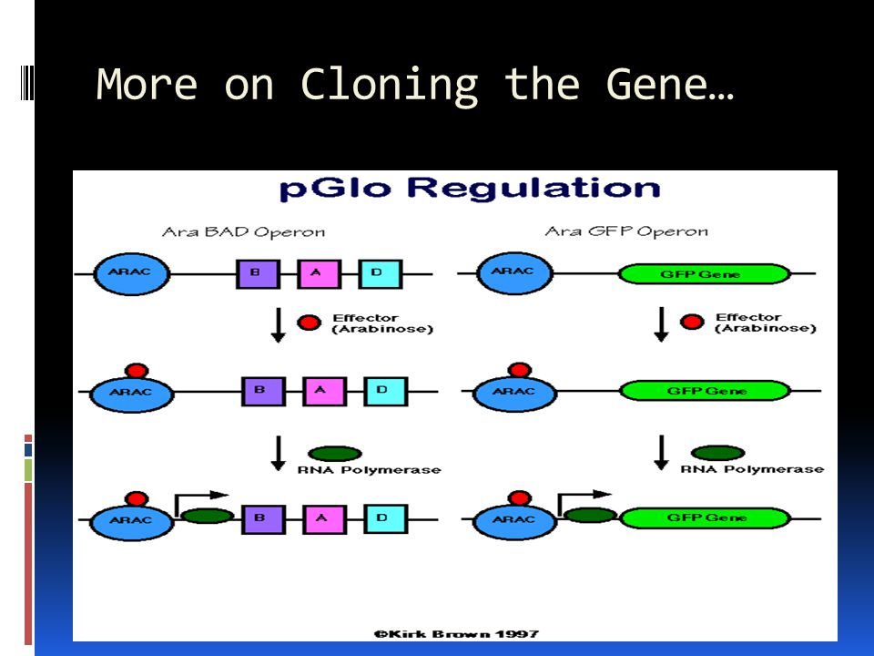 More on Cloning the Gene…