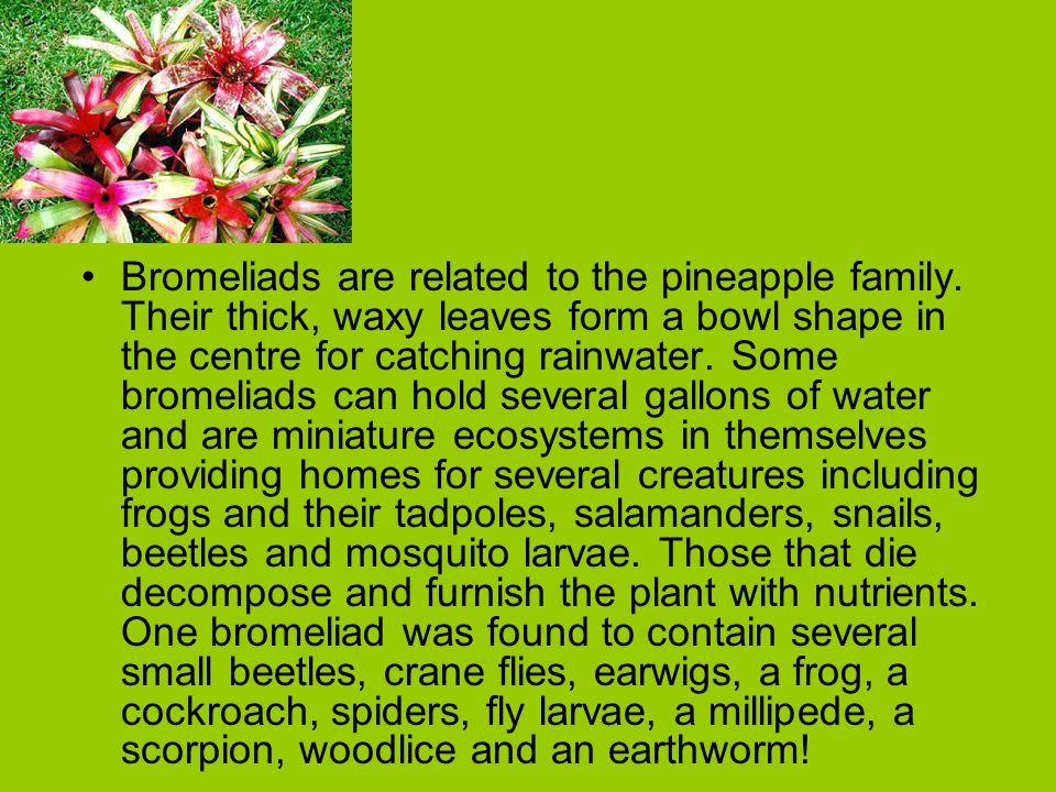 Bromeliads are related to the pineapple family