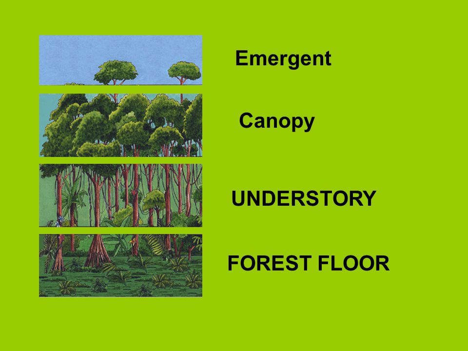 Emergent Canopy UNDERSTORY FOREST FLOOR