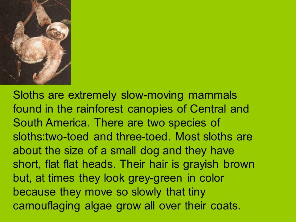 Sloths are extremely slow-moving mammals found in the rainforest canopies of Central and South America.