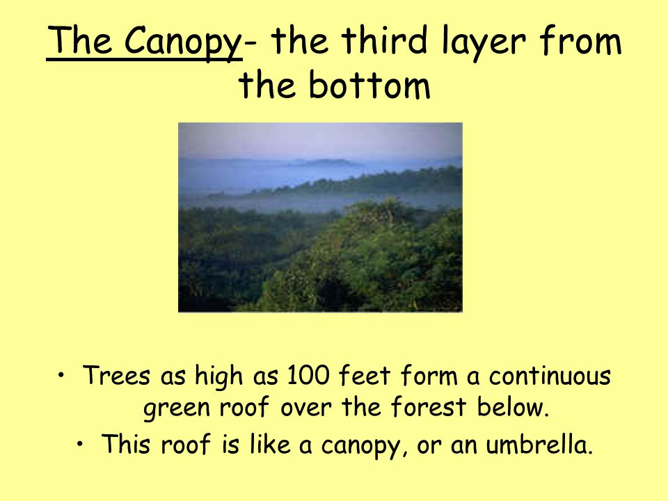 The Canopy- the third layer from the bottom
