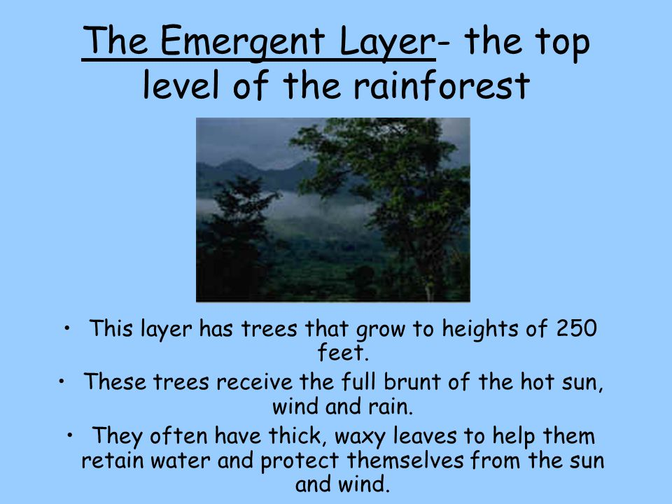 The Emergent Layer- the top level of the rainforest
