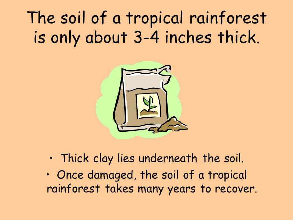 The soil of a tropical rainforest is only about 3-4 inches thick.