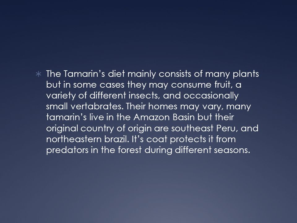 The Tamarin's diet mainly consists of many plants but in some cases they may consume fruit, a variety of different insects, and occasionally small vertabrates.