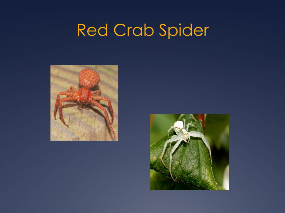Red Crab Spider