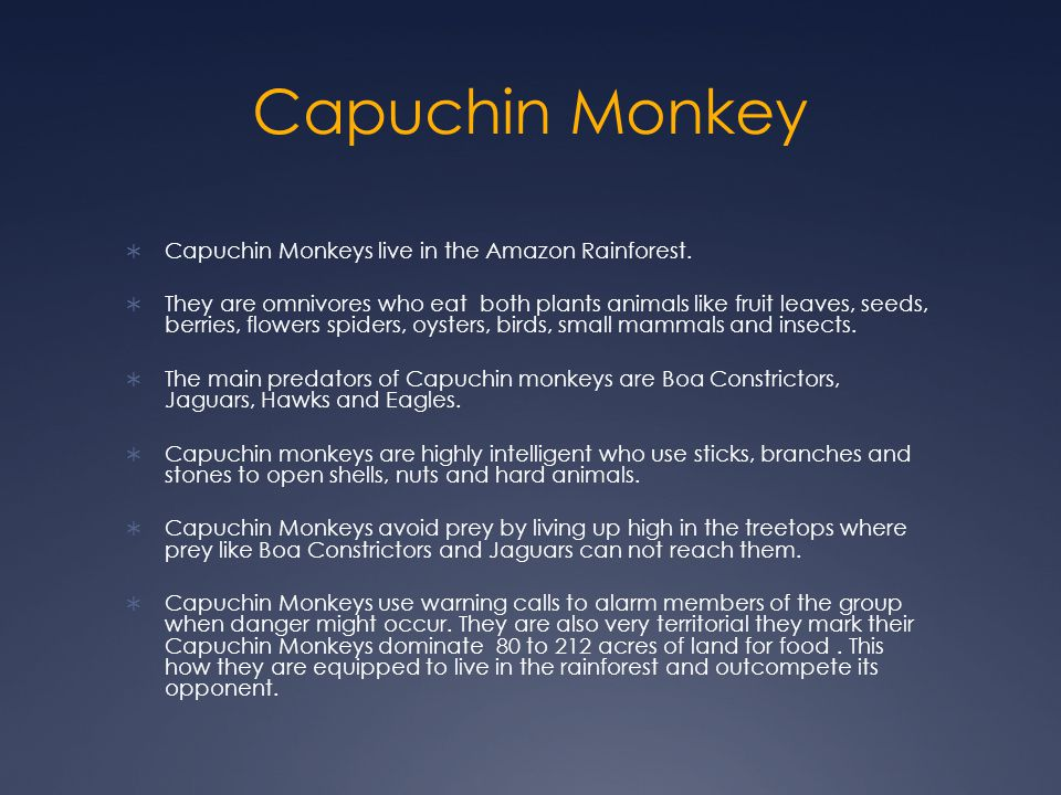 Capuchin Monkey Capuchin Monkeys live in the Amazon Rainforest.