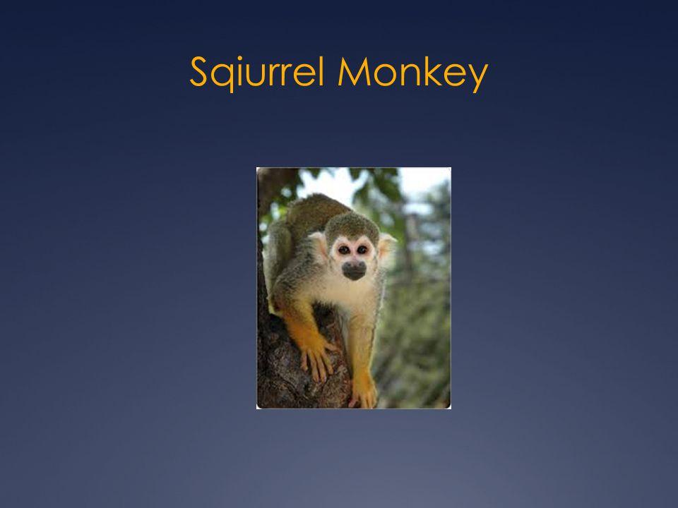 Sqiurrel Monkey