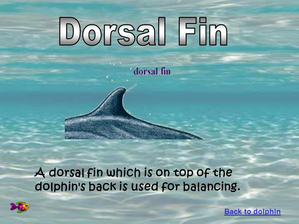 Dorsal Fin A dorsal fin which is on top of the