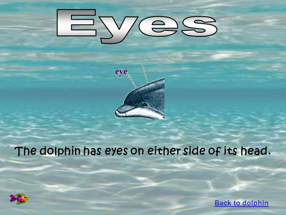 Eyes The dolphin has eyes on either side of its head. Back to dolphin
