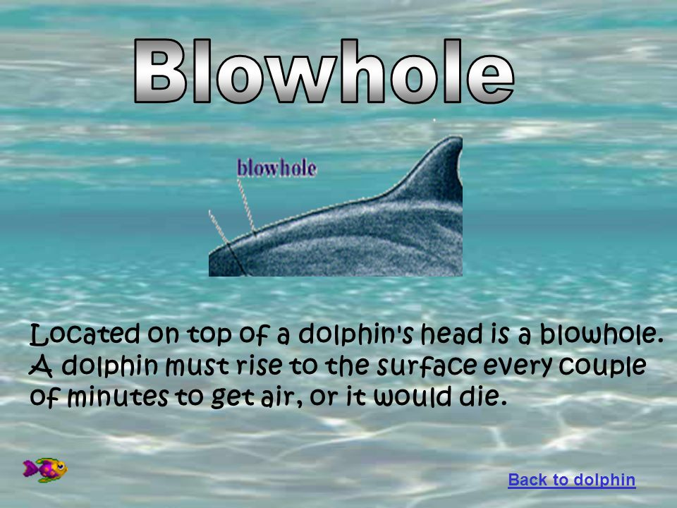 Blowhole Located on top of a dolphin s head is a blowhole.