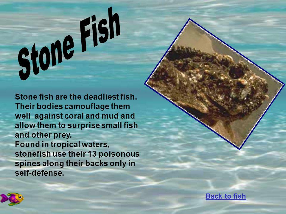 Stone Fish Stone fish are the deadliest fish.