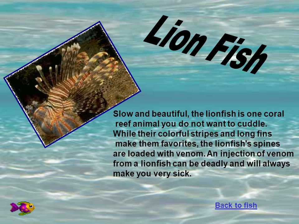 Lion Fish Slow and beautiful, the lionfish is one coral