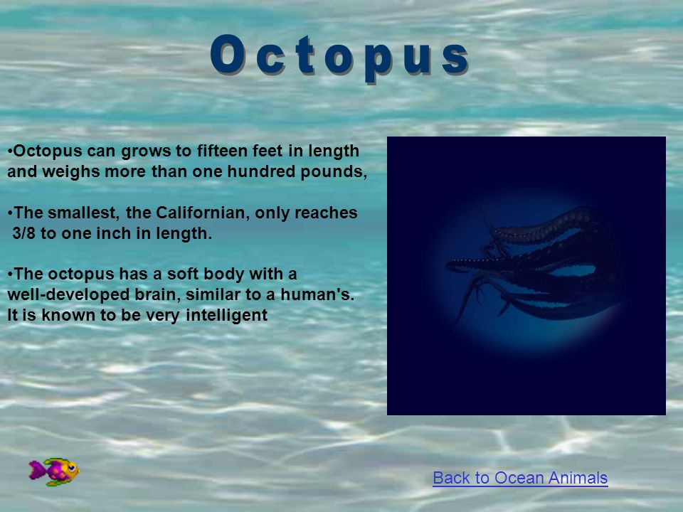 Octopus Octopus can grows to fifteen feet in length